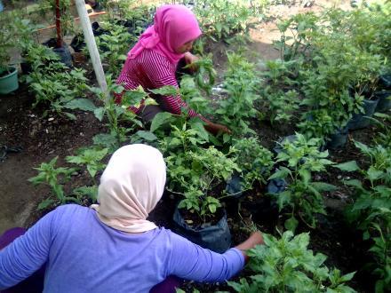 Perawatan Tanaman  oleh Ibu-Ibu KWT Dusun Pranti